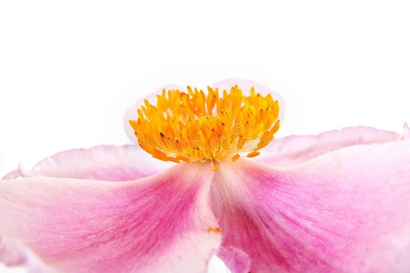 Eine Blume ist Anemone stockfoto