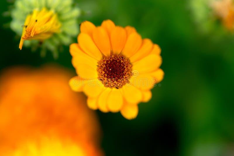 Eine Blume mit den hellen gelben Blumenblättern auf einem grünen Hintergrund mit orange Tönen Makro stockfoto