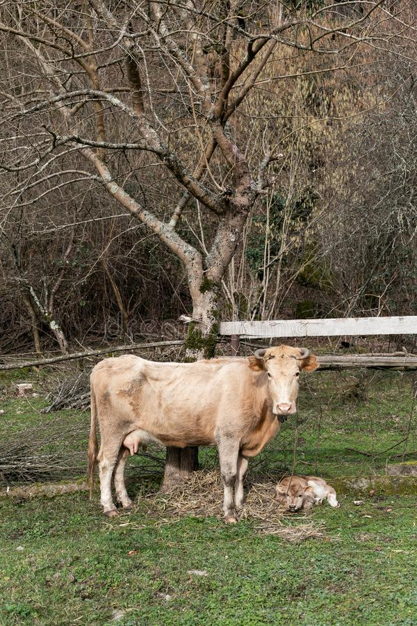Eine braune Kuh und ein kleines Kalb in der Wiese im Frühjahr weiden lassen Selektiver Fokus lizenzfreie stockfotografie