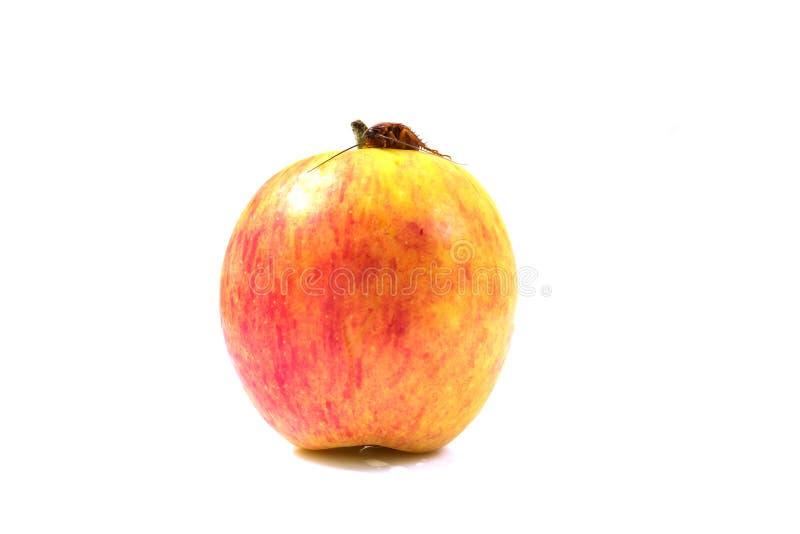Eine braune Schabe, die auf einem roten Apfelfokus auf Schabe sitzt und isst lizenzfreie stockbilder