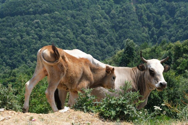 Eine braune und wei?e Kuh im hohen Gras lizenzfreies stockbild