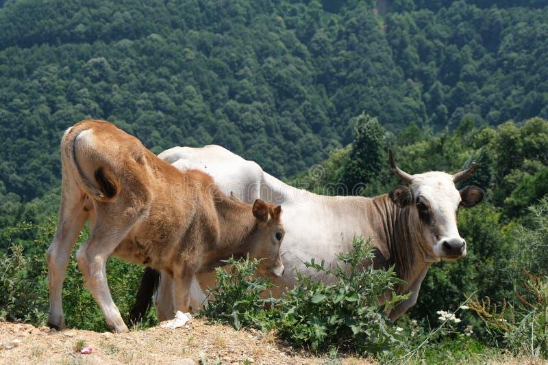Eine braune und wei?e Kuh im hohen Gras stockbilder