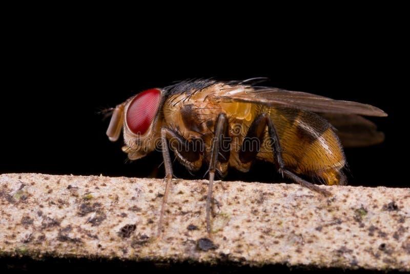 Eine bristly Fliege auf einem Stamm stockbilder