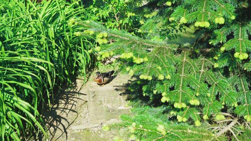 Eine bunte m?nnliche h?lzerne Ente geht entlang einen Weg zwischen hohes K?stengras, nahe seinem Nest an einem sonnigen Tag lizenzfreie stockbilder