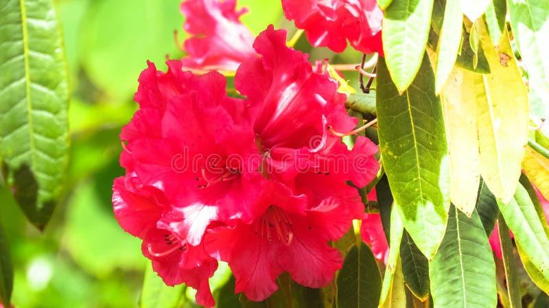 Eine bunte Rose stockfotografie