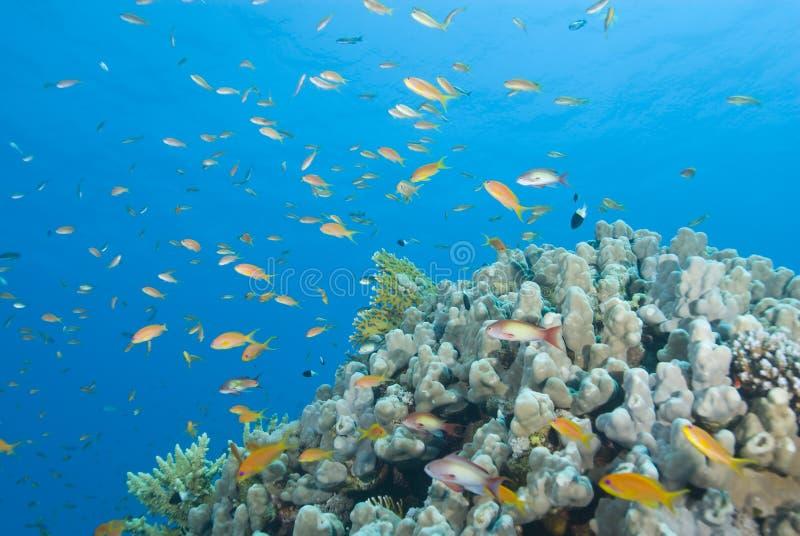 Eine bunte tropische Korallenriffszene mit Anthias. stockbild