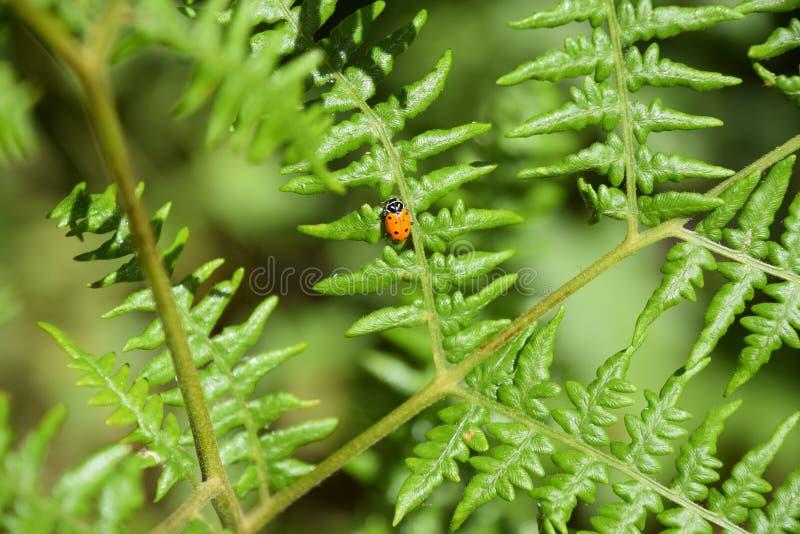 Eine Dame Bug Searches für Blattläuse lizenzfreies stockfoto