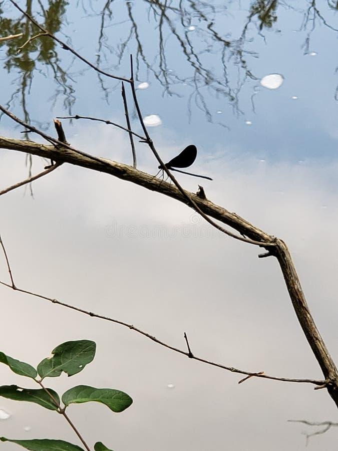 Eine Drachefliege auf einer Niederlassung nahe ruhigem Strom stockfoto