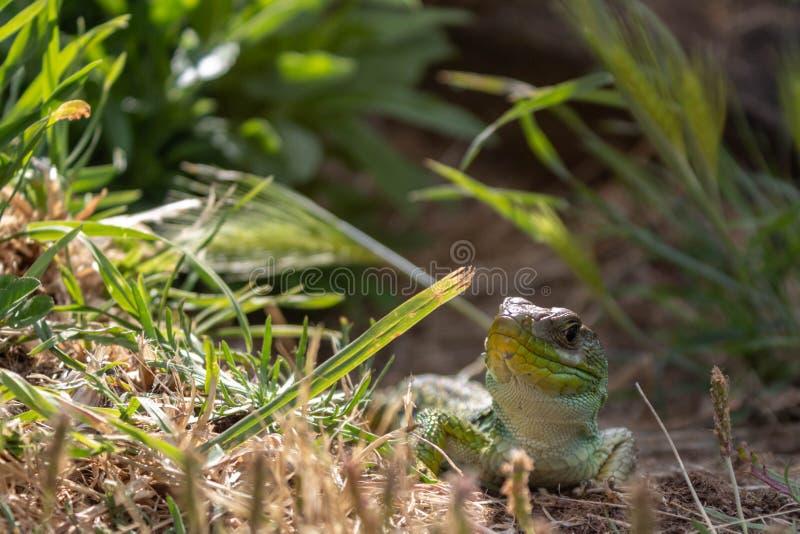 Eine Eidechse, die an einem sonnigen Nachmittag ein Sonnenbad nimmt lizenzfreie stockfotografie
