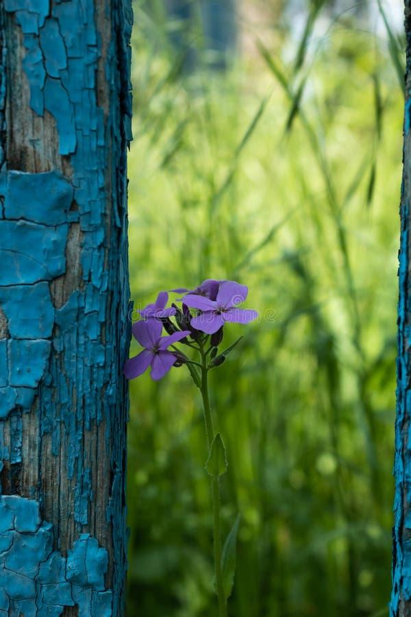 Eine einsame purpurrote Blume nahe bei dem alten Zaun ot, welches die blaue Farbe weg abzog stockfoto