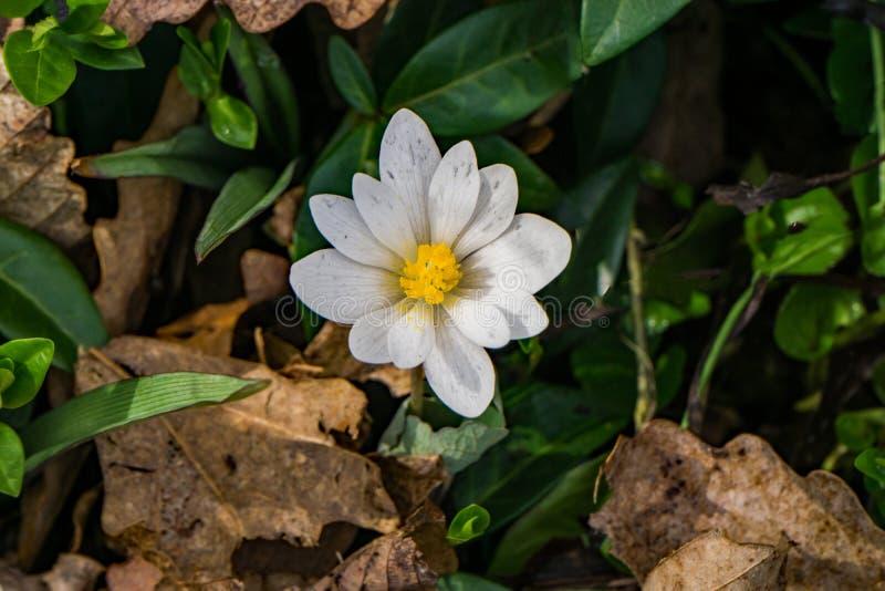 Eine einzelne Bloodroot-Blume - 2 stockfotografie