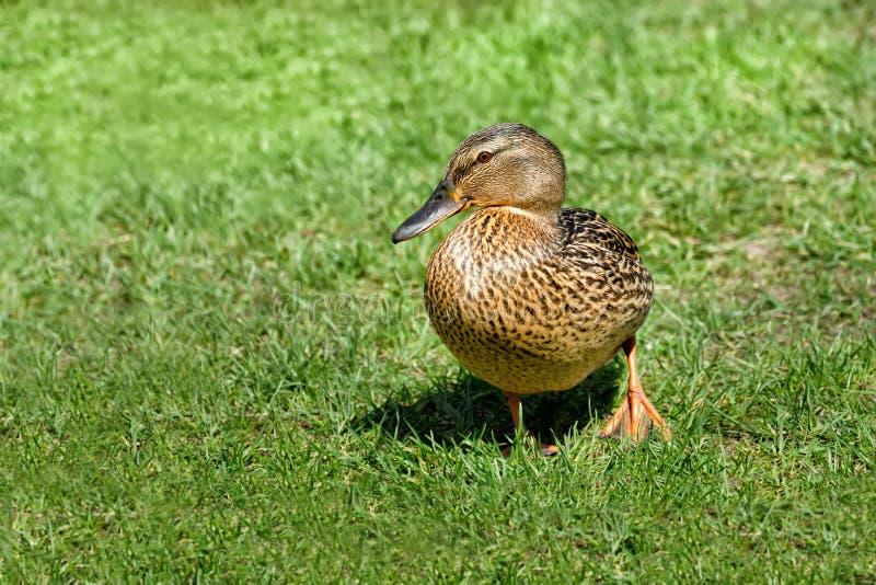 Eine einzelne braune Ente geht über ein Feld auf grünem Gras lizenzfreies stockfoto