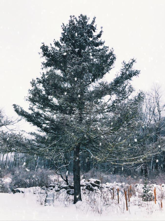 Eine einzelne große Baumstellung im Schnee stockfoto