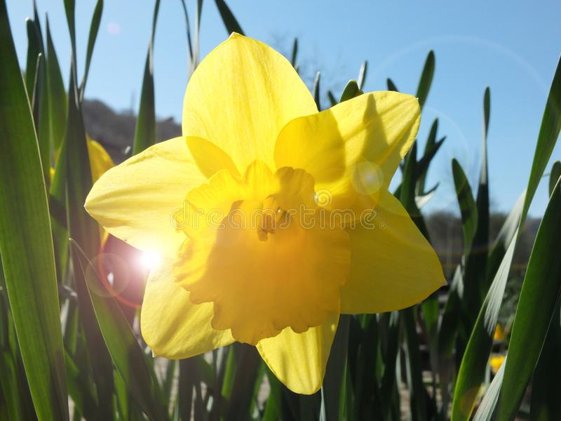 Eine einzelne klare helle gelbe Narzisse, die im Frühjahr gegen einen hellen blauen Himmel mit Frühlingssonnenlicht blüht stockfotografie