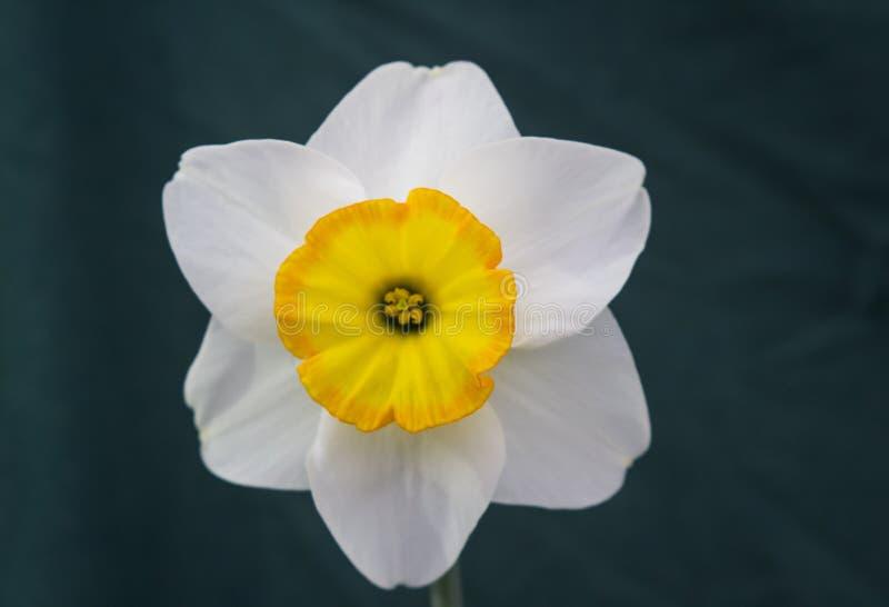 Eine einzelne Narzissenblüte auf Anzeige im Junior School-Abschnitt des jährlichen Frühlingsfests gehalten in Barnett-` s Demesne stockbild