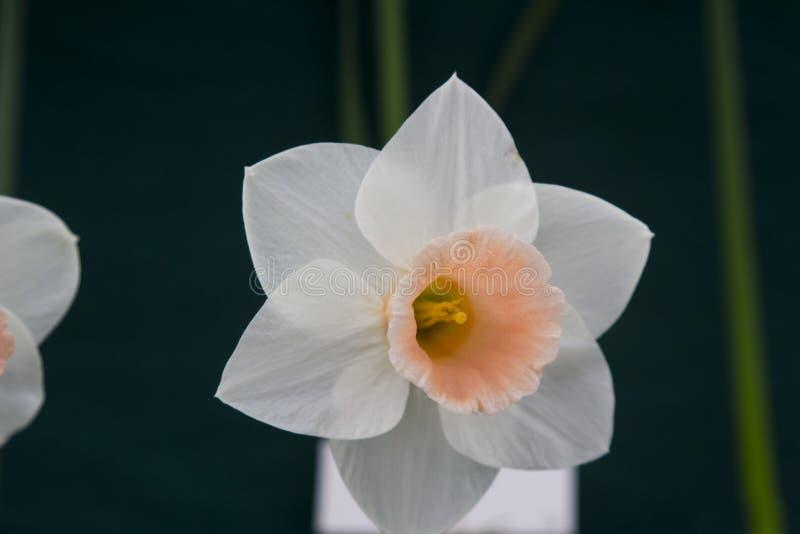 Eine einzelne Narzissenblüte auf Anzeige im Junior School-Abschnitt des jährlichen Frühlingsfests gehalten in Barnett-` s Demesne stockfoto