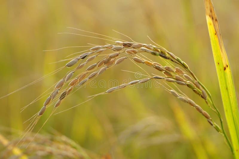 Eine einzelne Reispflanze stockfoto