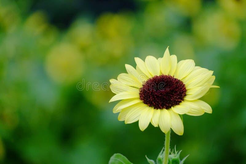 Eine einzelne Sonnenblumenblüte im botanischen Garten lizenzfreie stockbilder