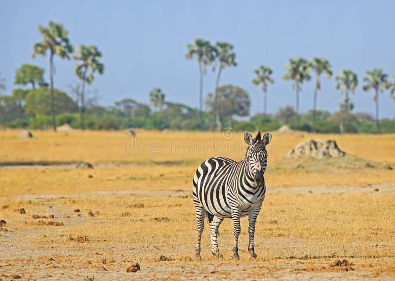 Eine einzige Burchell-Zebrastellung auf den offenen afrikanischen Ebenen mit Palmen im Hintergrund Nationalpark Hwange lizenzfreie stockbilder
