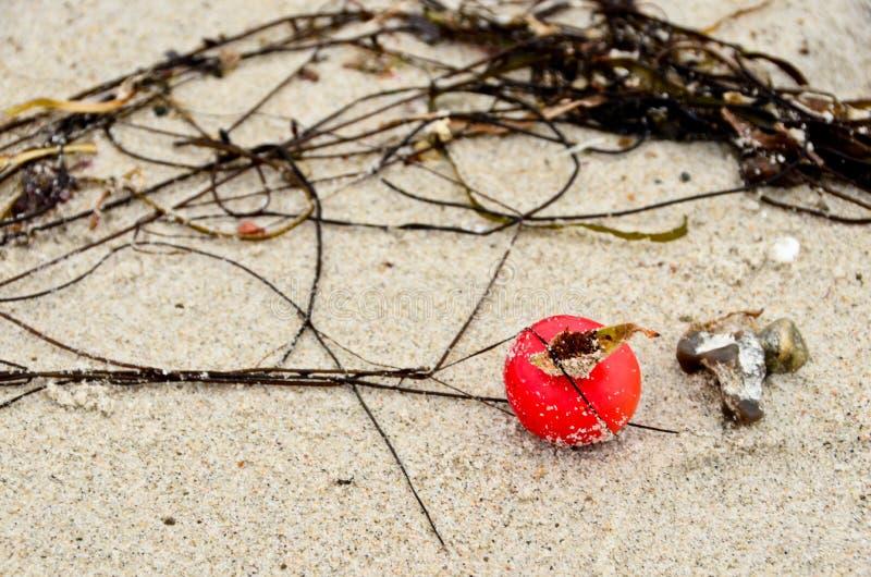Eine einzige Frucht eines Hundes, einer Rosenholz, die im Sand eines Strandes liegt lizenzfreies stockfoto