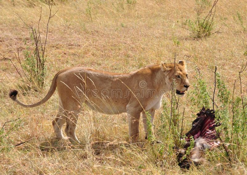 Eine einzige Löwin mit einer Karkasse stockbilder