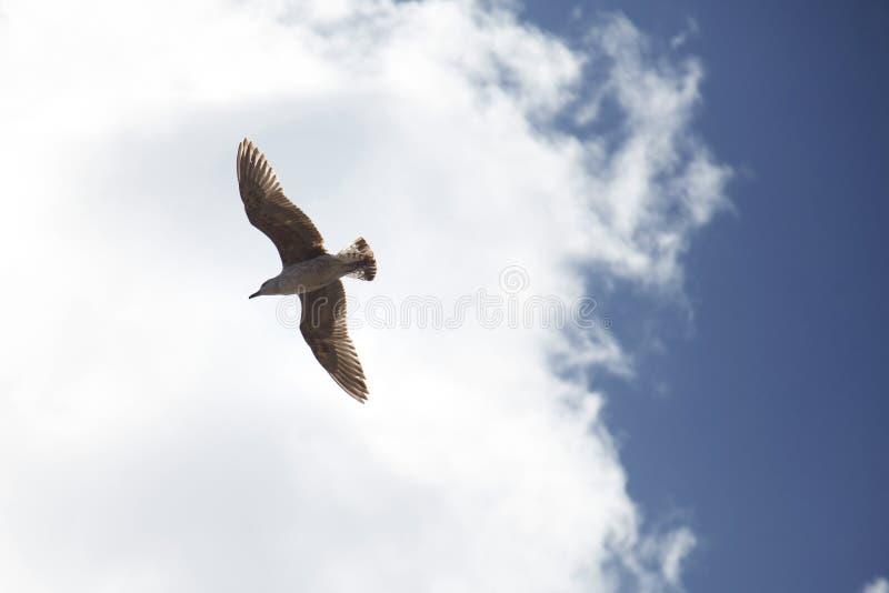 Eine einzige Seemöwe im Himmel, ein Vogel steigt schön unter den Wolken an stockbild
