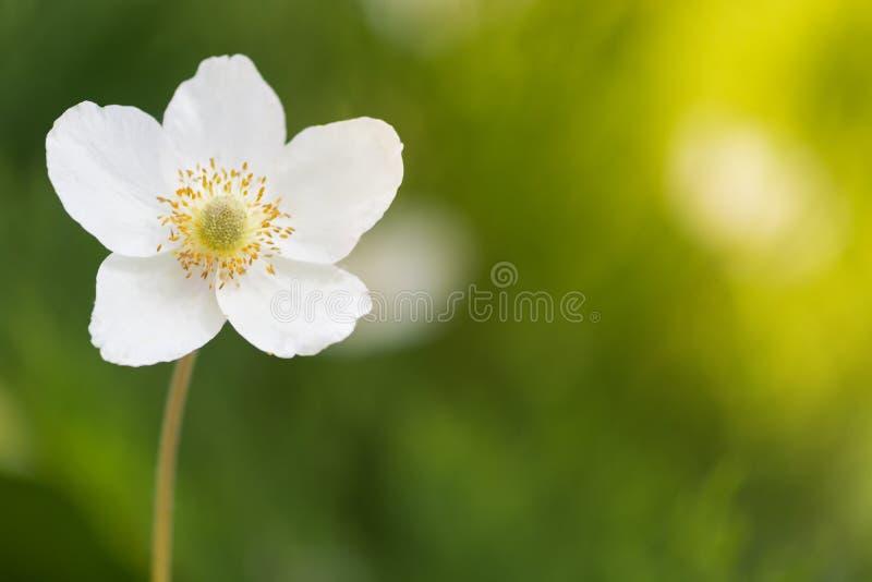 Eine einzige weiße Anemonenblume auf einem unscharfen grünen Hintergrund Selektiver Fokus stockbild