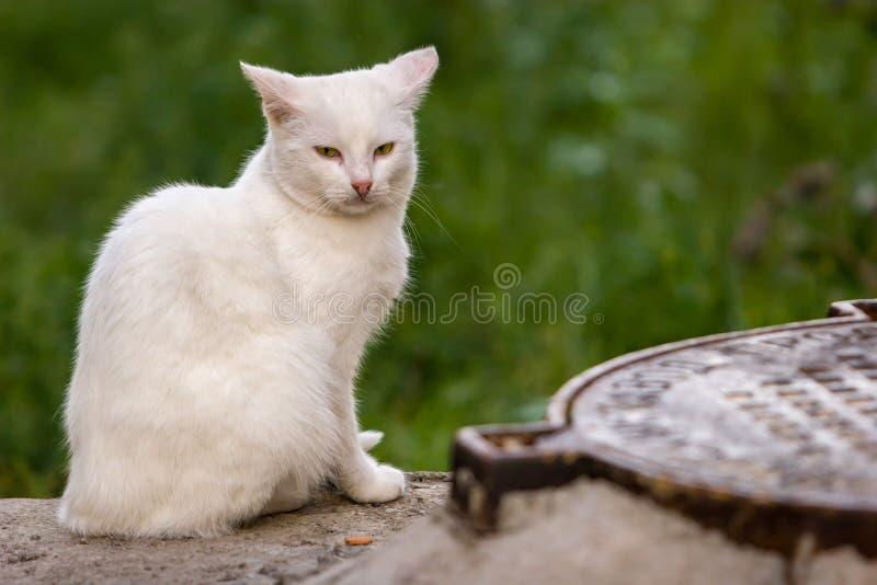 Eine einzige weiße Katze sitzt und untersucht die Kamera nahe dem Kanaldeckel lizenzfreie stockfotografie