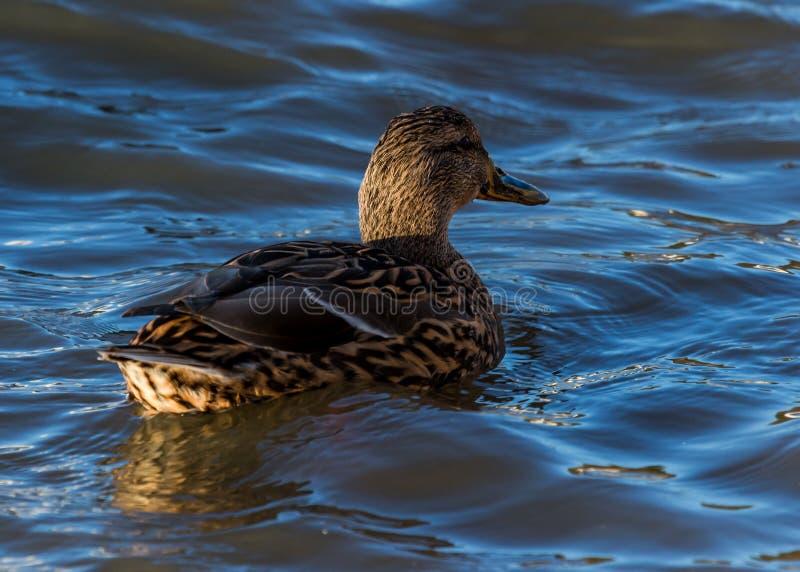 Eine einzige weibliche Eiderente, Wasservogel, einziehend und schwimmen im Fluss lizenzfreie stockfotos