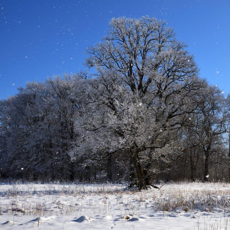 Eine eisige Eiche in den Schneefällen gegen Hintergrund des blauen Himmels lizenzfreies stockbild