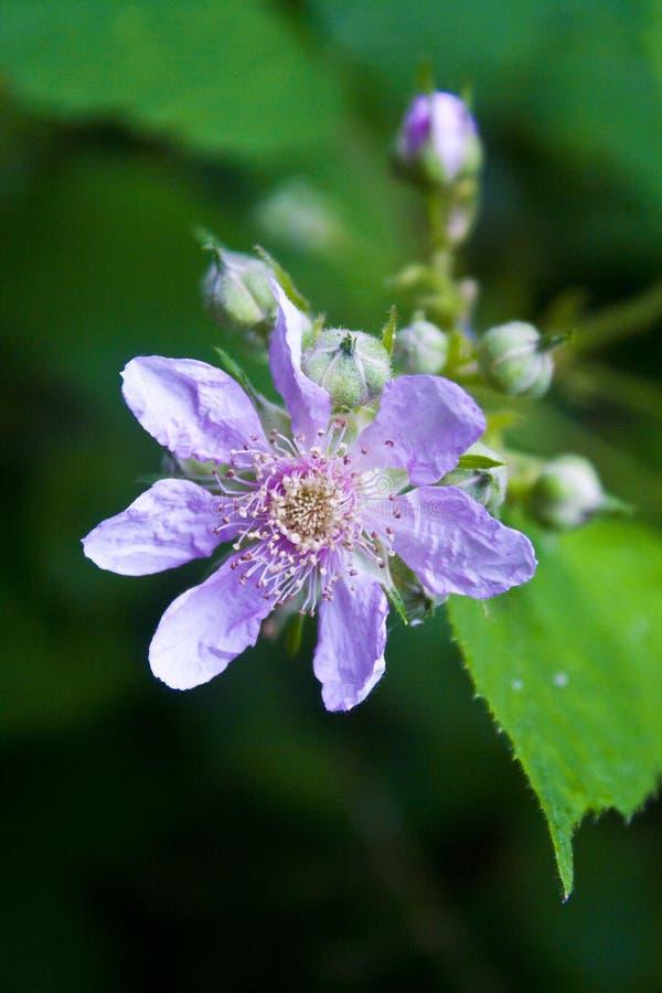 Eine empfindliche Blume lizenzfreie stockfotografie