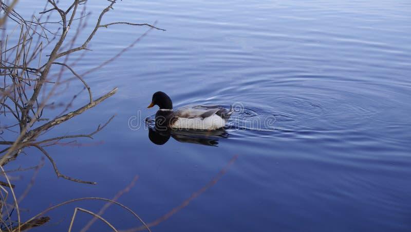 Eine Ente stockfotos
