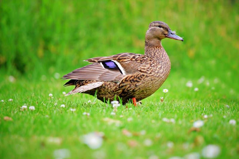 Eine Ente auf einem Feld lizenzfreies stockbild