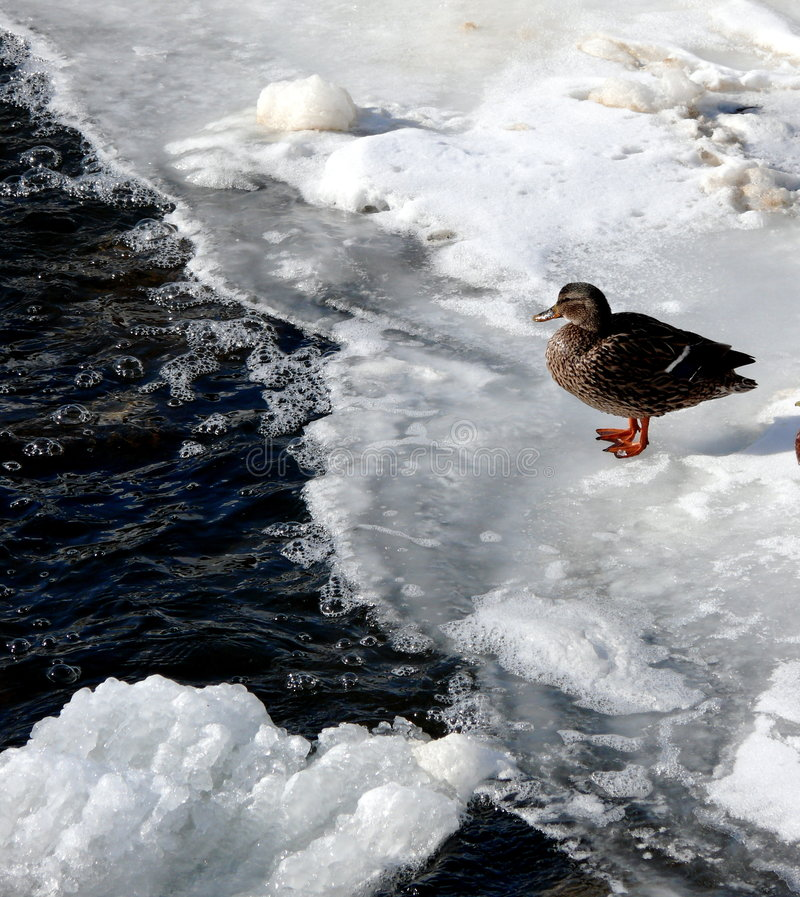 Eine Ente auf einem gefrorenen See lizenzfreies stockbild
