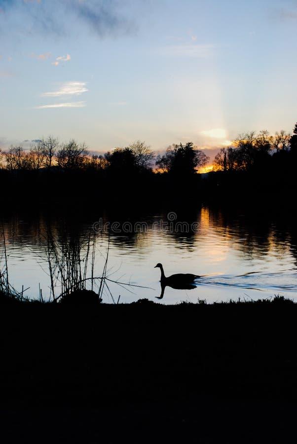 Eine Ente an der Dämmerung stockbilder