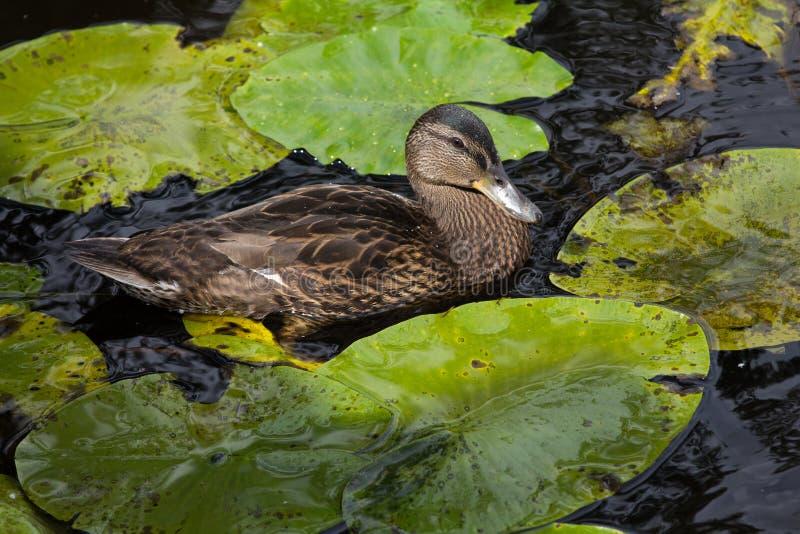 Eine Ente, die in einen Teich unter den Seerosen schwimmt stockbild