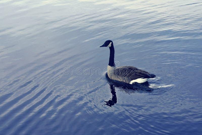 Eine Ente im Central Park New York lizenzfreies stockfoto