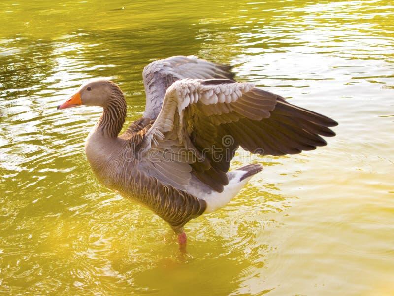 Eine Ente mit geöffneten Flügeln lizenzfreies stockfoto