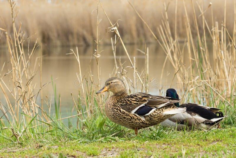 Eine Ente und ein Drake Mallard-Lat Anekdoten platyrhynchos, die auf der Ufergegend sitzen stockfotos