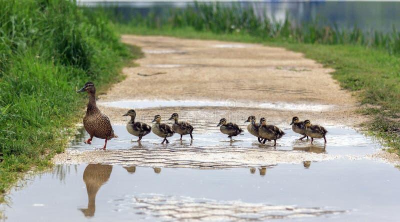 Eine Ente und mit den Entlein, die einen Weg kreuzen