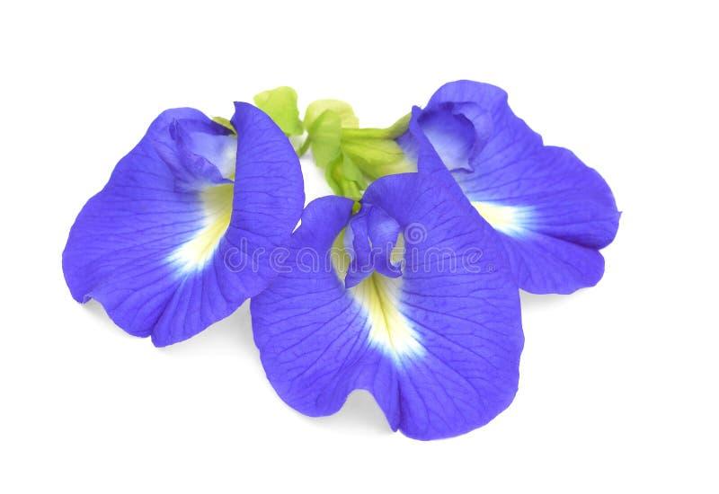 Eine Erbsenschmetterlingsblume auf Whithintergrund lizenzfreies stockfoto