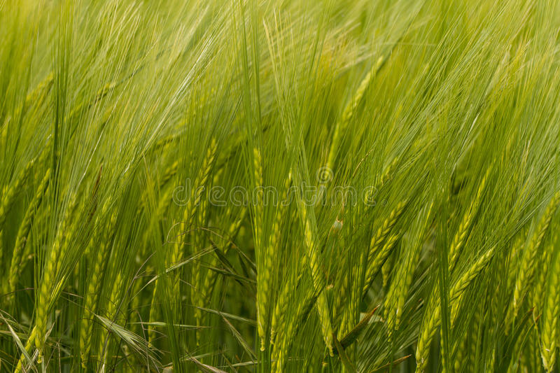 Eine Ernte der grünen Gerste stockbild