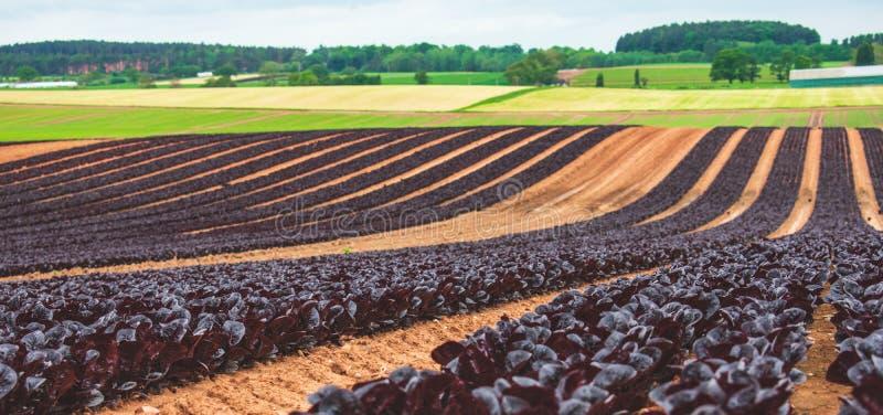 Eine Ernte des purpurroten Kopfsalates wachsend in den Reihen lizenzfreie stockbilder