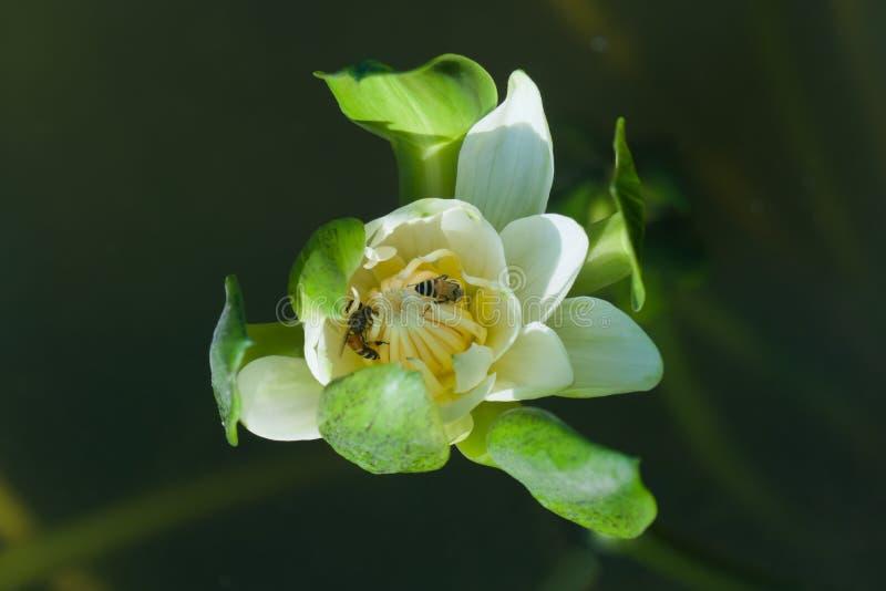 Eine erstaunlich schöne, öffnende Lotosblume, entstehend aus einem Teich heraus lizenzfreie stockfotos