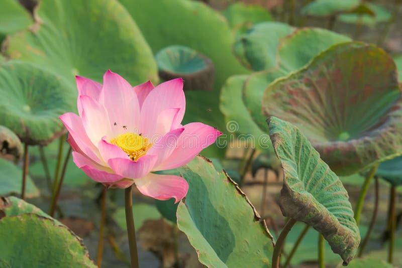 Eine erstaunlich schöne Nahaufnahme einer rosa und gelben voll-geblühten Lotosblume, in einem üppigen thailändischen Gartenpark stockbilder