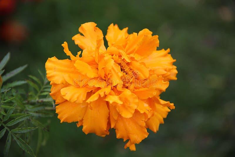 Eine erstaunliche Orangenblume Abbild schließen lizenzfreie stockbilder