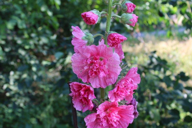 Eine erstaunliche rosa Blume wuchs auf einem Blumenbeet lizenzfreies stockbild