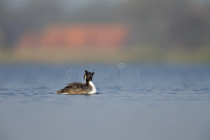 Eine erwachsene Haubentaucher Podiceps cristatus Schwimmen und Putzen in einem See in den Niederlanden stockbilder
