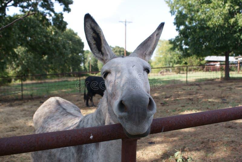 Eine Eselstute, die sie denkt, dass sie ein Haustier ist stockfotografie