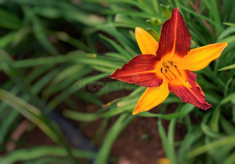 Eine exotische Blume in Ruanda lizenzfreies stockbild
